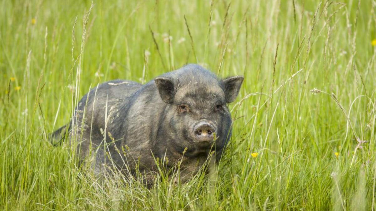 El cerdolí: cruce entre cerdo vietnamita y jabalí que se propaga por España