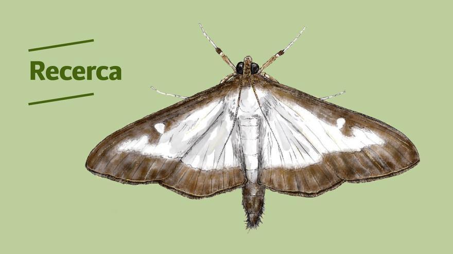La UIB pide colaboración ciudadana para localizar una mariposa invasora