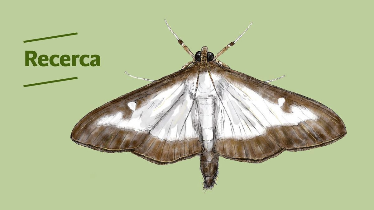 La mariposa o polilla del boj
