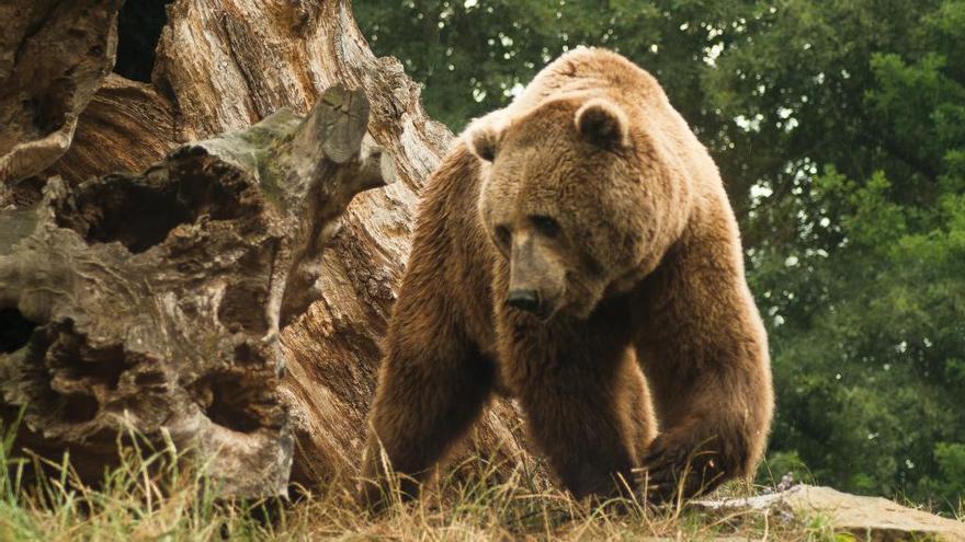 O Courel quiere convivir con los osos