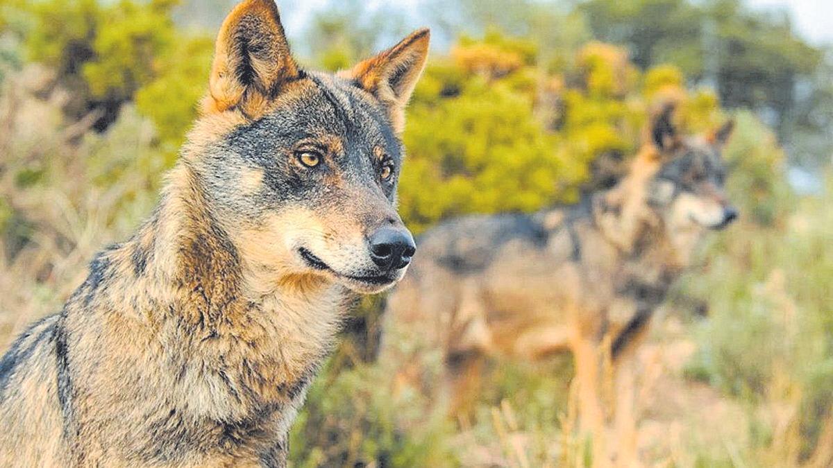 El lobo volverá a los montes valencianos