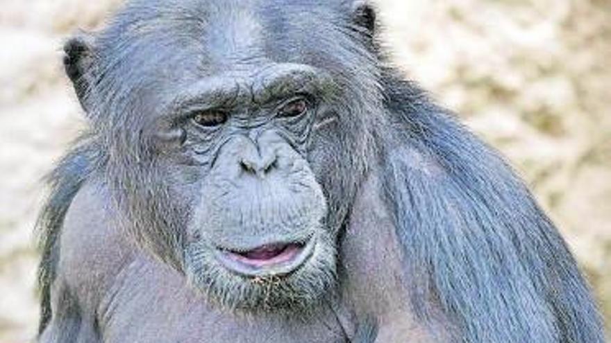 Cuando los chimpancé empezaron a hablar