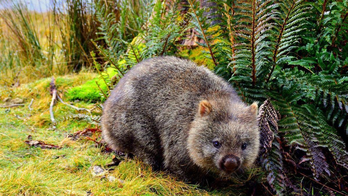 Resuelven el misterio de la forma geométrica del excremento del wombat