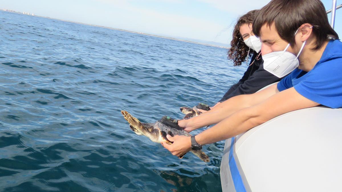 Vuelven juntas al mar las tortugas hermanas que se reencontraron en Valencia