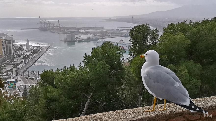 Conferencia en el Ateneo sobre las gaviotas de Málaga