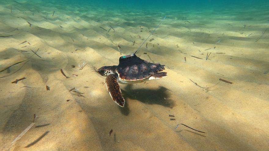 Los 5.000 kilómetros recorridos por una tortuga liberada en Calblanque