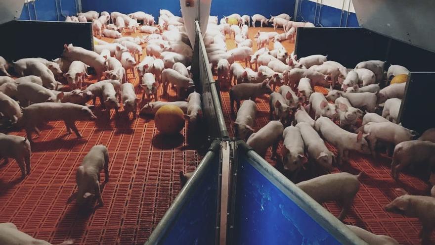 Una granja porcina de Matilla la Seca, premiada por su producción
