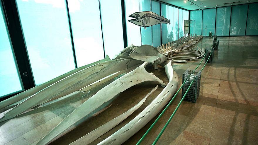 """València """"adopta"""" una ballena hallada hace   23 años en el Perellonet"""