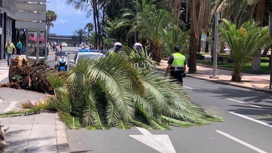 Caída de una palmera en la calle Muelle Las Palmas