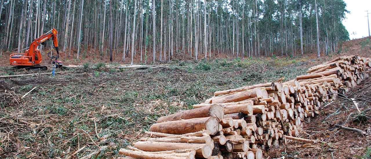 Explotación forestal de eucaliptos