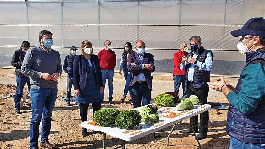 Investigan nuevas lechugas que sean más resistentes al cambio climático