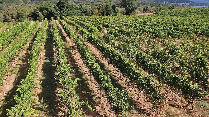 Casi 80 viticultores recibirán ayudas para mejorar sus viñedos