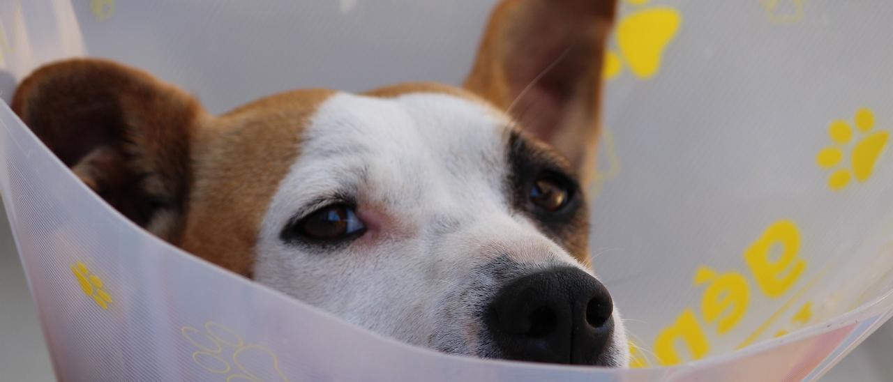 ¿Será obligatorio castrar a tu mascota con la nueva Ley de Protección Animal?