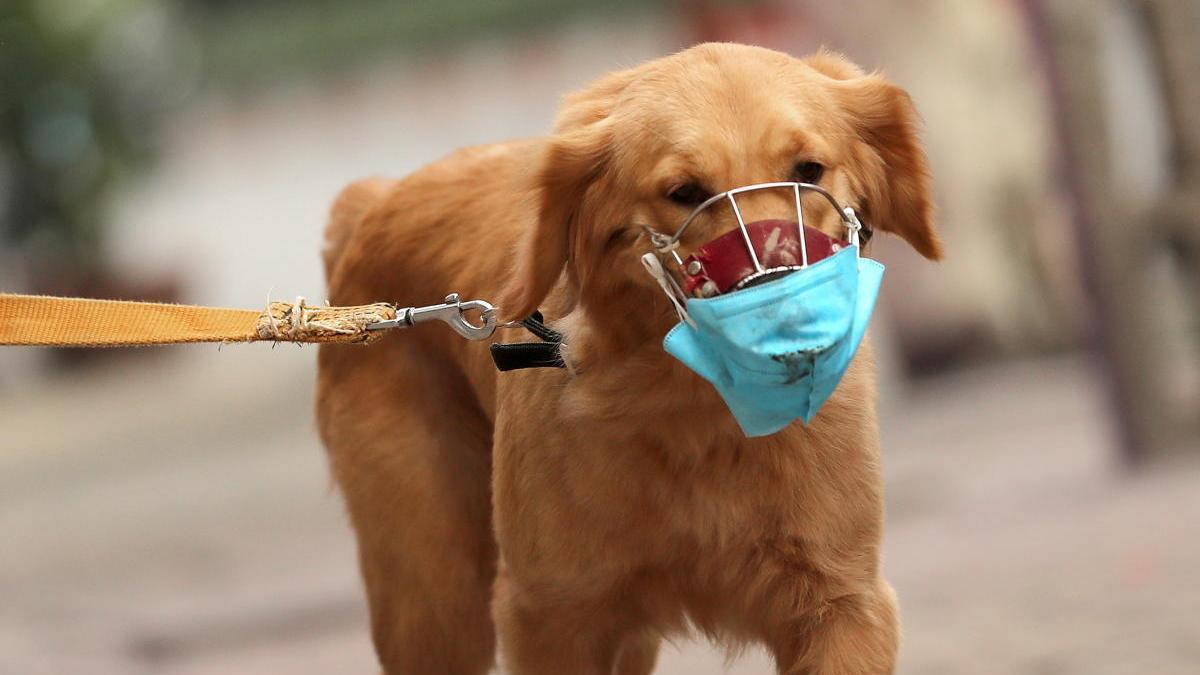 Un perro con mascarilla en Hanoi (Vietnam).