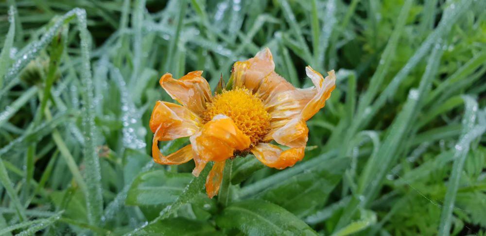 Congelada.  Així és com ha quedat aquesta flor després d'una de les fortes glaçades que va fer la setmana passada. La imatge es va captar en un jardí del Pont de Vilomara.