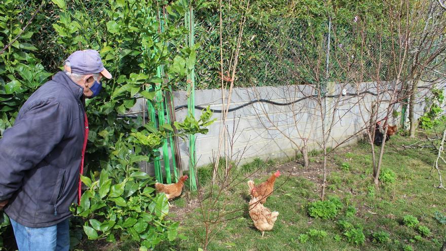 Asturias levanta el confinamiento de las gallinas de ocho concejos, impuesto por el riesgo de gripe aviar