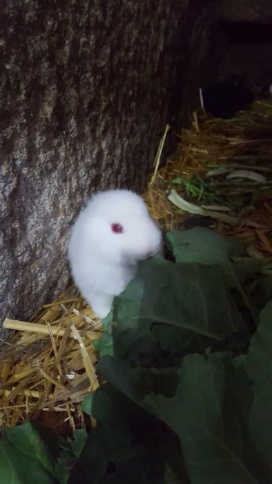 Así es el conejo sin orejas de Xinzo de Limia