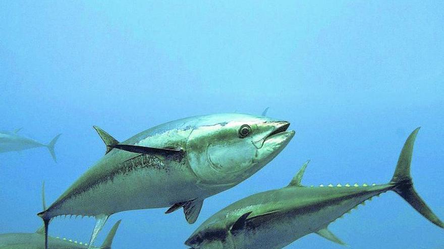 La plaga de atún rojo alerta al Mediterráneo