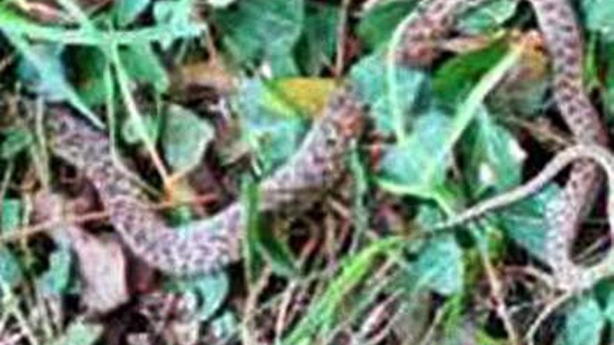 Rescatan una serpiente de casi un metro en una casa cerca de Peinador