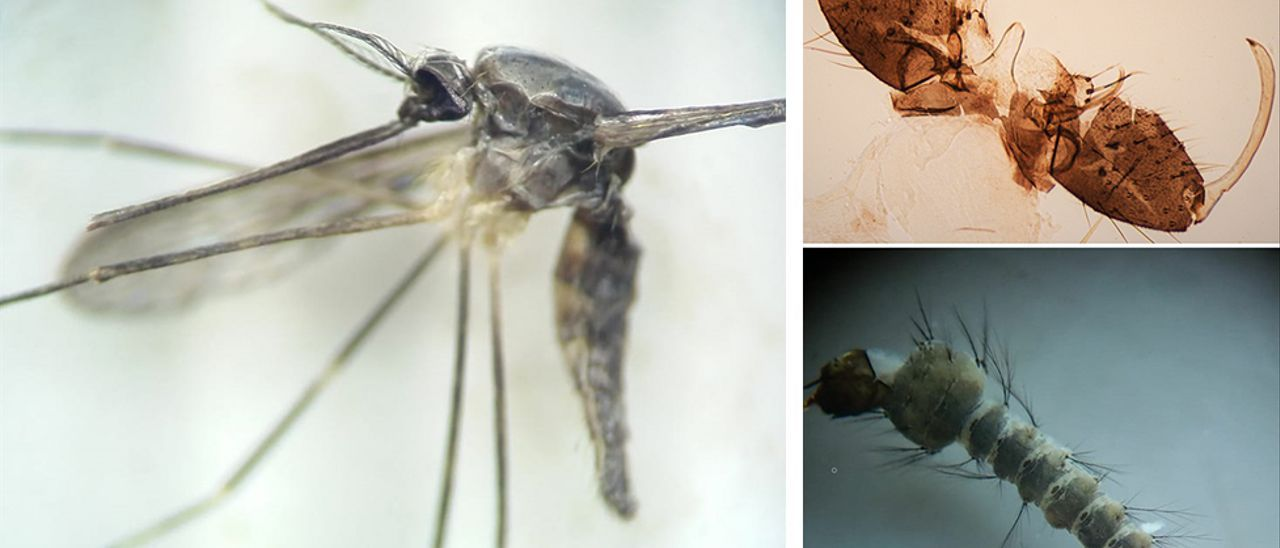 Ejemplar y detalles de mosquitos A. plumbeus