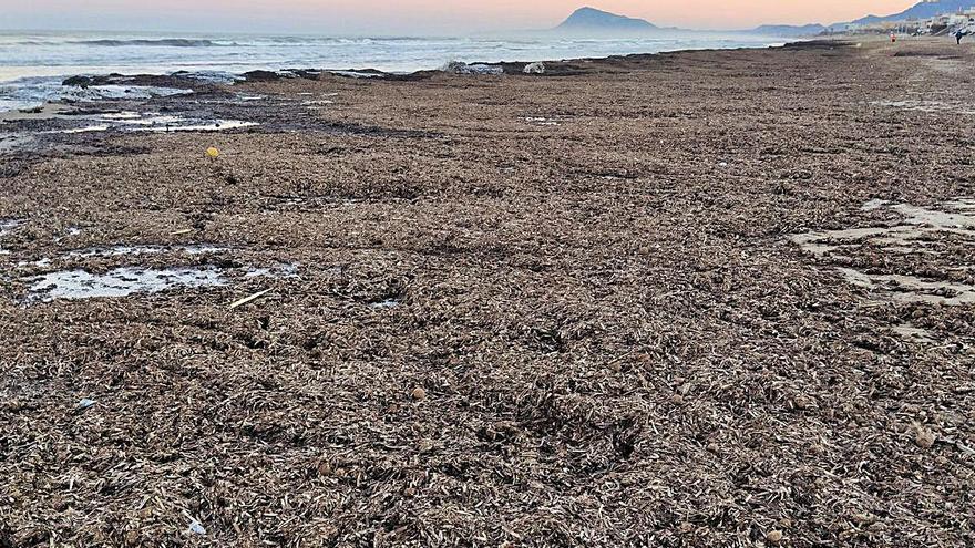 Oliva aprovechará  la posidonia para regenerar las dunas