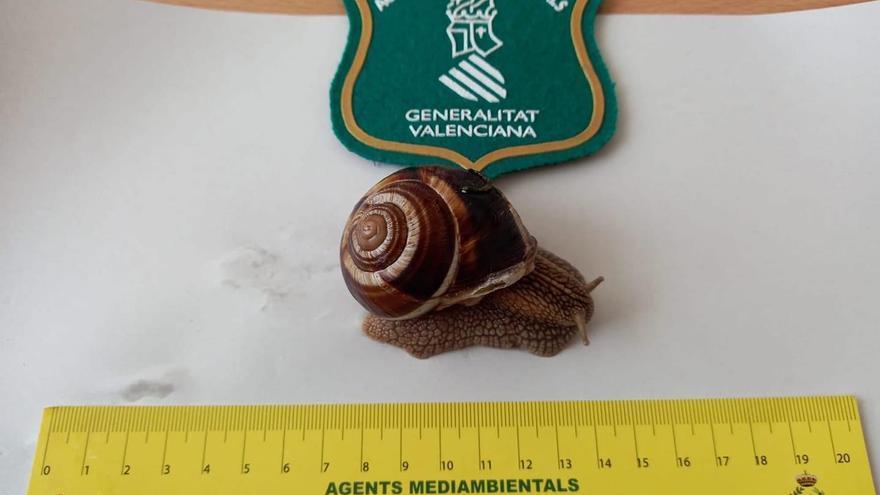 Preocupación por la aparición de una especie invasora de caracol gigante en Castellón