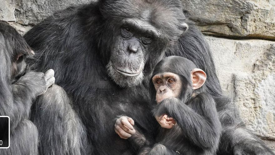"""El chimpancé Coco cumple dos años como """"símbolo de esperanza"""" en Bioparc"""