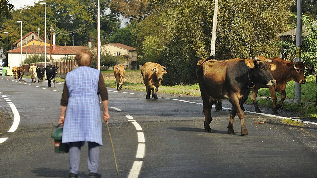 Un mujer guía a las vacas de su explotación en la comarca de Deza.     // BERNABÉ / JAVIER LALÍN