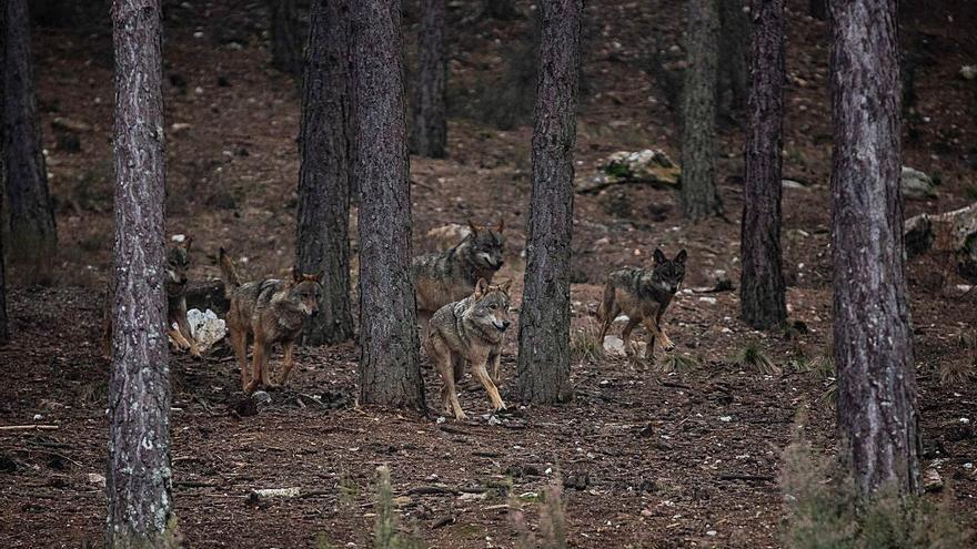 Un informe científico defiende la gestión cinegética del lobo en Zamora