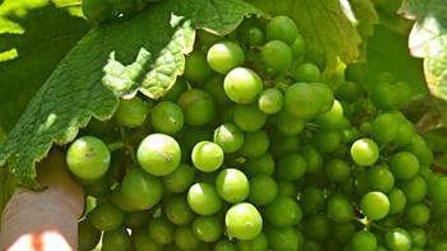 El sector pronostica una vendimia temprana y buena tras sortear los duros ataques de mildiu