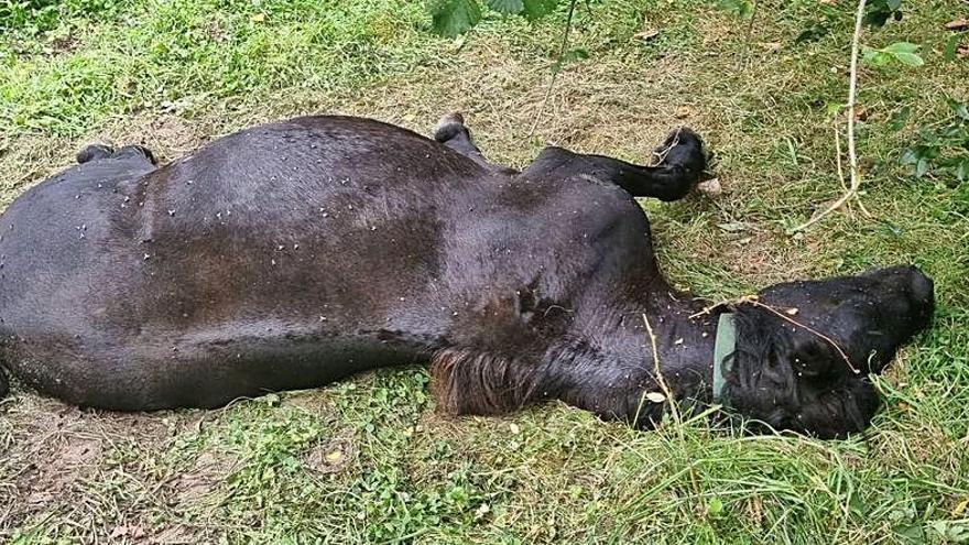 La muerte de una yegua enfrenta a un ganadero con el Ayuntamiento en Peñamellera