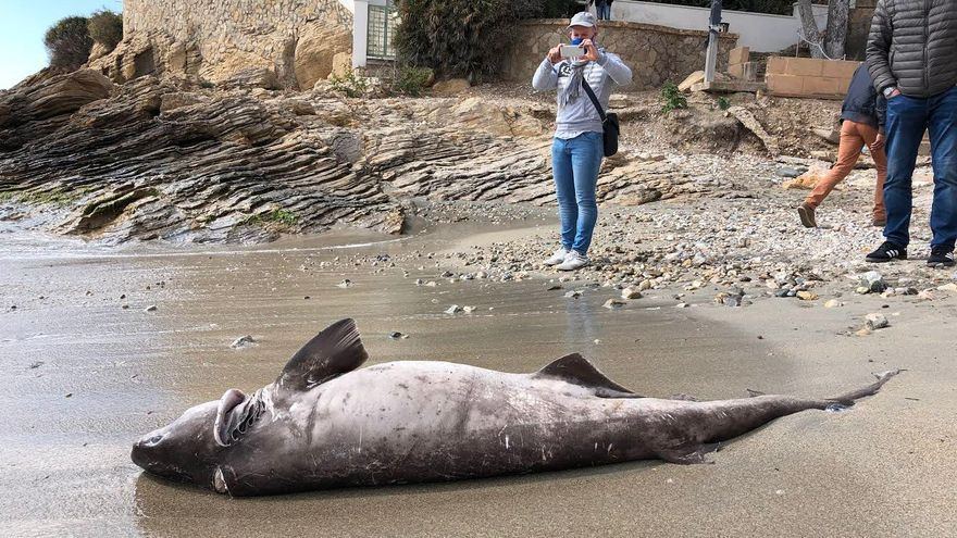 Un pequeño tiburón aparece muerto en la playa de Sant Elm