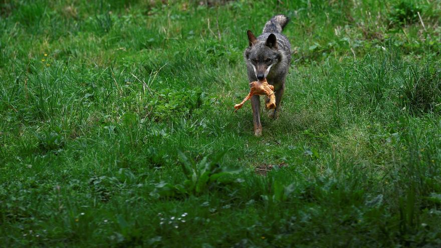 Ribera avanza que la orden ministerial que prohibirá cazar al lobo puede entrar en vigor antes del 25 de septiembre
