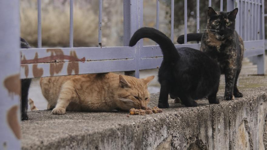 La Diputación triplica la ayuda en Crevillent para esterilizar gatos callejeros
