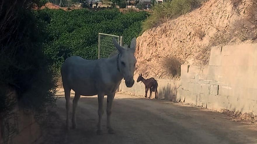 Un burro y una cabra, rescatados por la Guardia Civil en Librilla