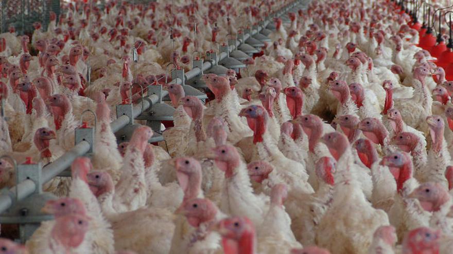 Francia sacrificará hasta 800.000 aves por la gripe aviar