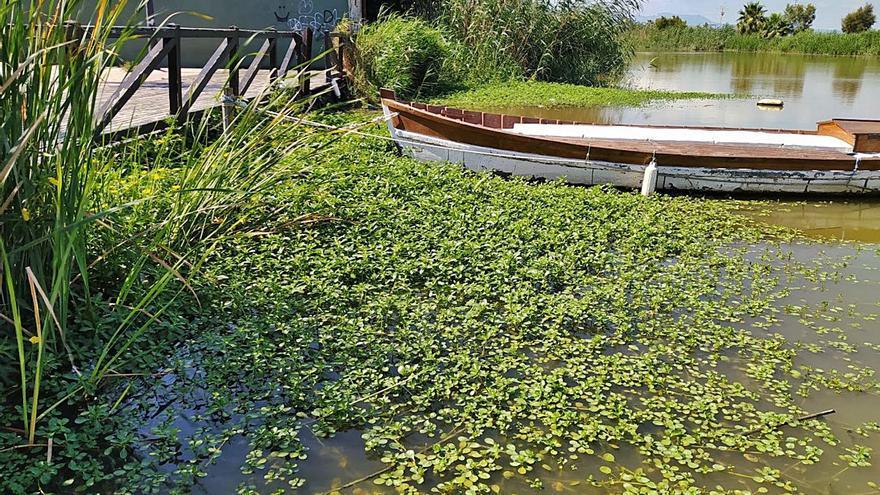 El incremento de flora sumergida confirma la mejoría de l'Albufera