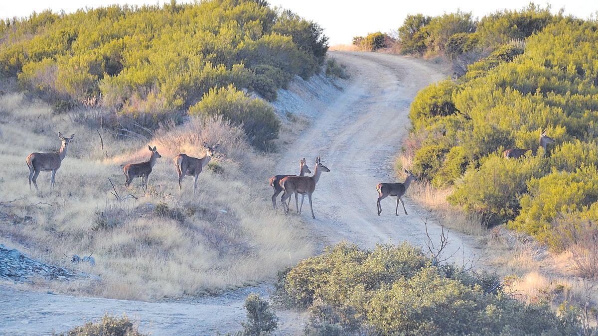 Un grupo de ciervas cruza un camino de Santa Cruz de Abranes para emboscarse en otro escenario de la Reserva Regional de la Sierra de La Culebra. | A. S.