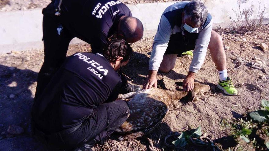 Un gamo se pasea por las calles de San Fulgencio y la Policía Local lo rescata tras caer en su huida en una acequia