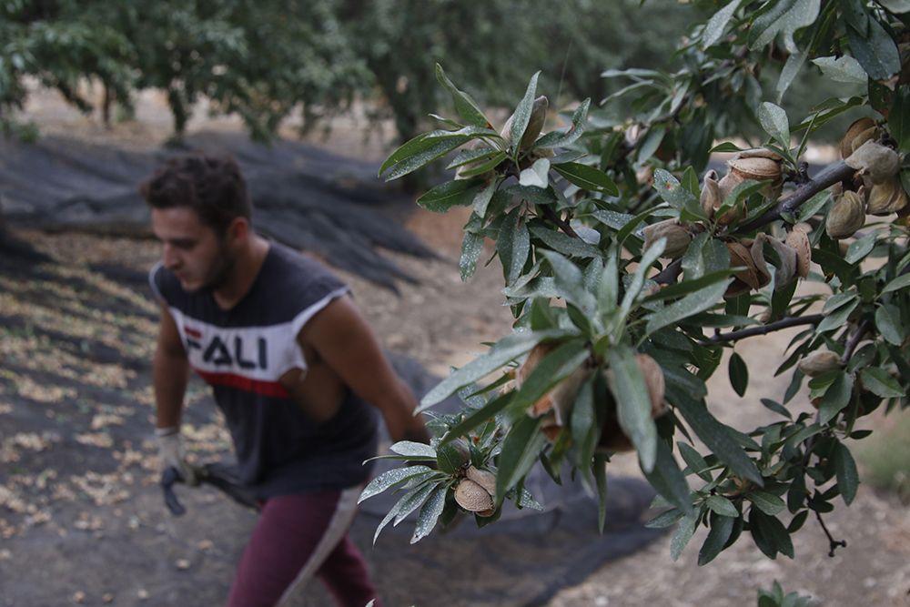 Comienzo de la campaña de la almendra en Córdoba