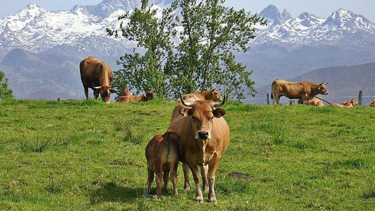 Ejemplares de asturiana de los valles.