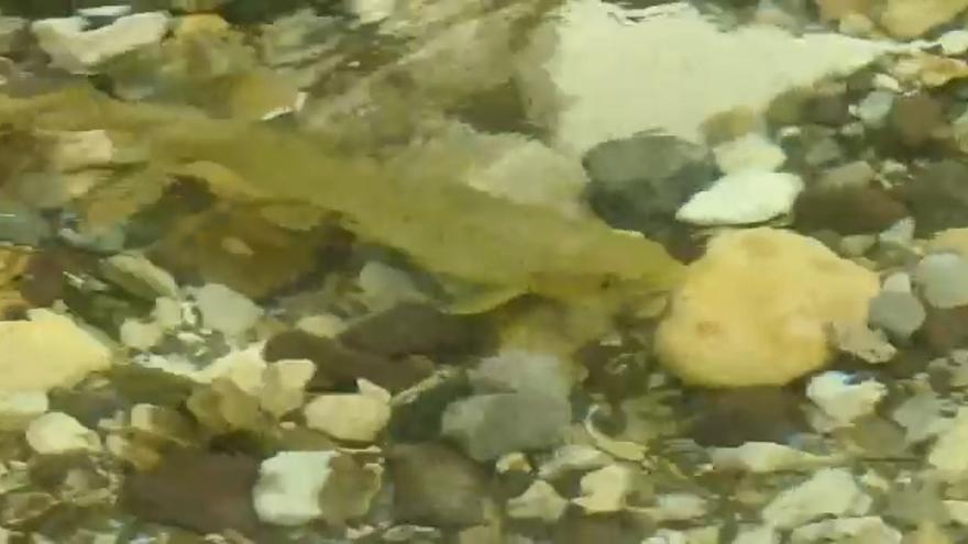 Los salmones saltan a la vista en Belmonte de Miranda