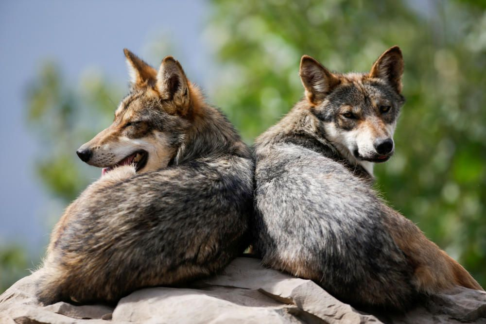 Lobos de México en peligro de extinción.