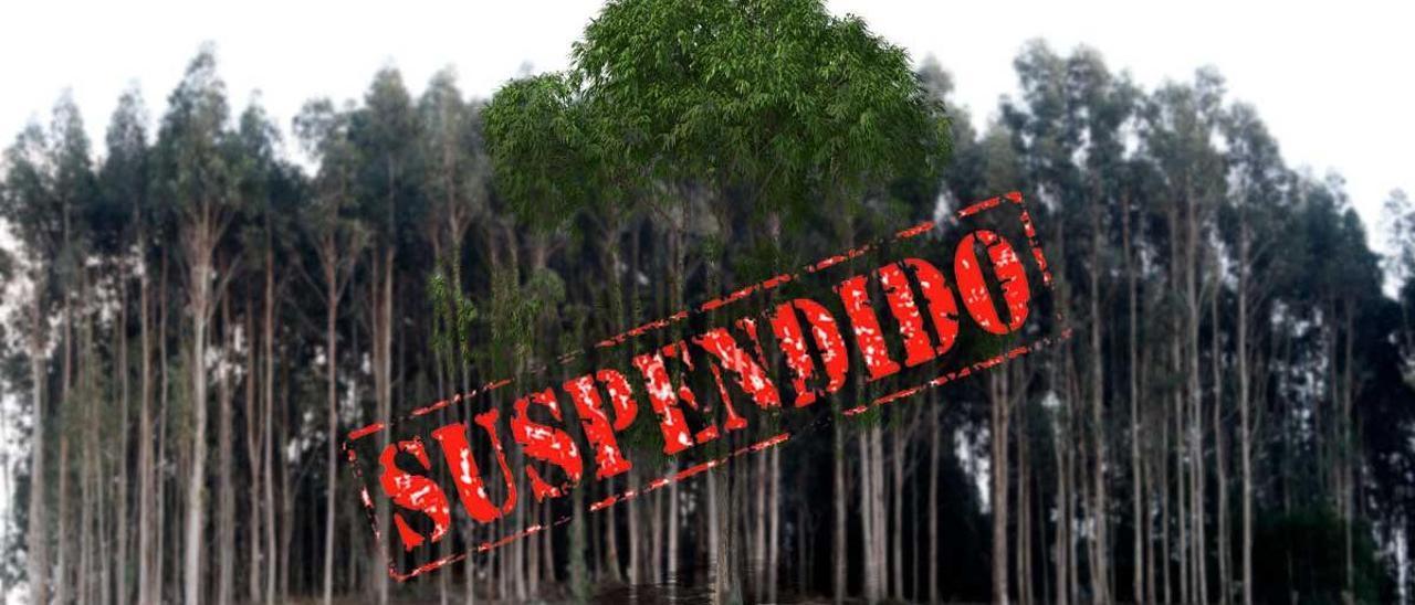 Medio Rural prohibirá de forma temporal las nuevas plantaciones de eucalipto