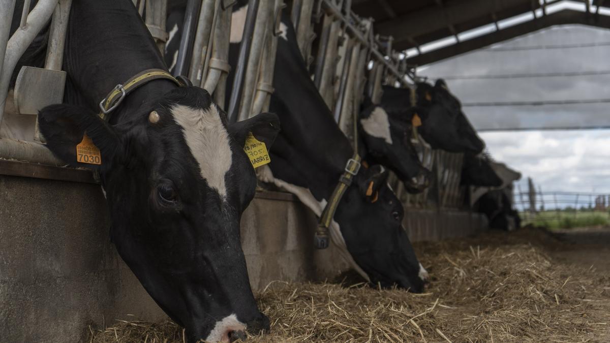 Vacas lecheras en una explotación de la provincia de Zamora.