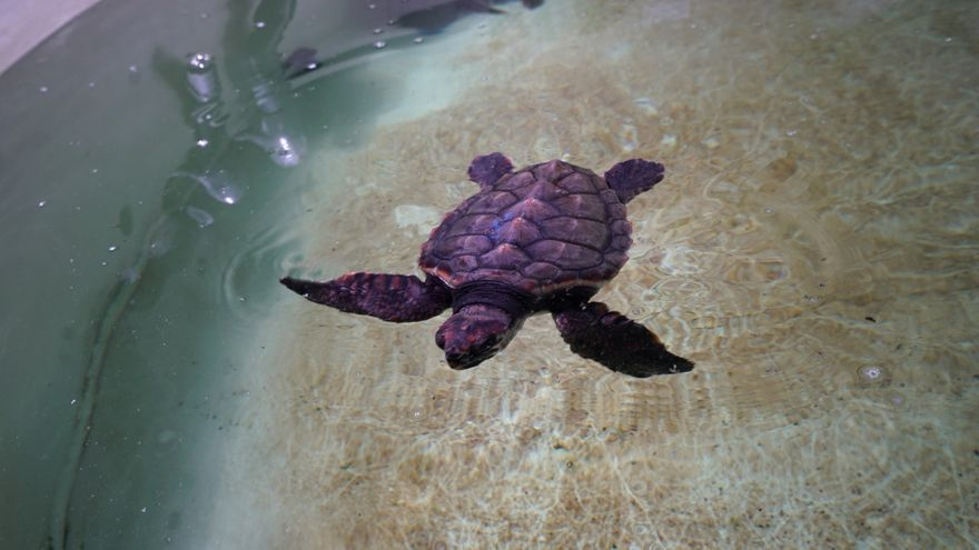 Dos tortugas hermanas se reencuentran en València tras surcar el mar durante 7 meses