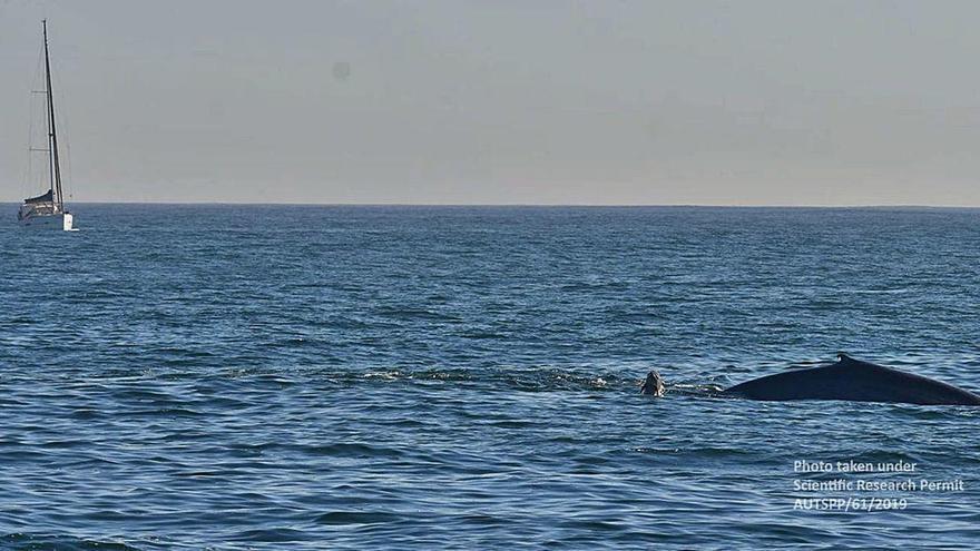 La identificación de otra ballena azul que repite visita confirma que la especie migra a Galicia cada año