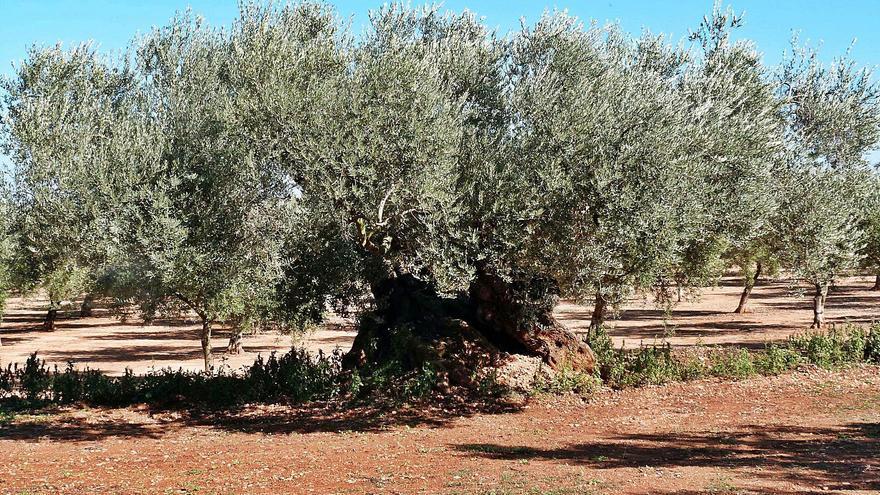 España será el primer productor de aceite de oliva del mundo en 2020