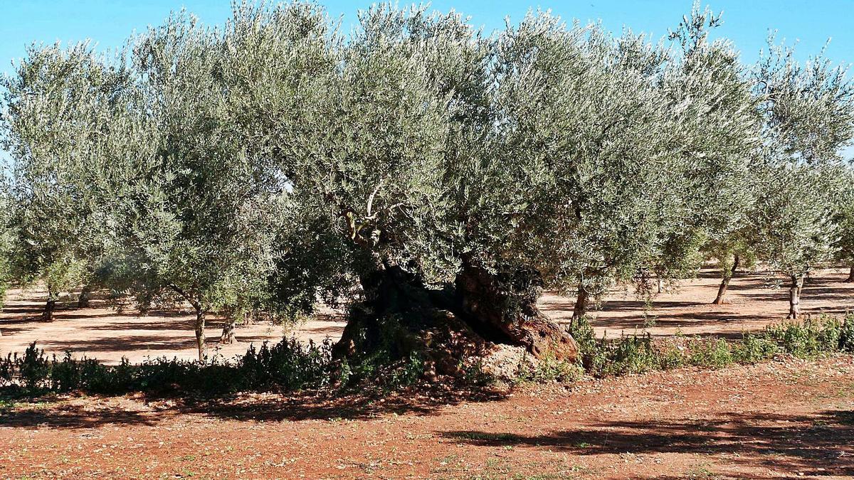 Campos de olivos en la localidad castellonense de Canet lo Roig.   LEVANTE-EMV