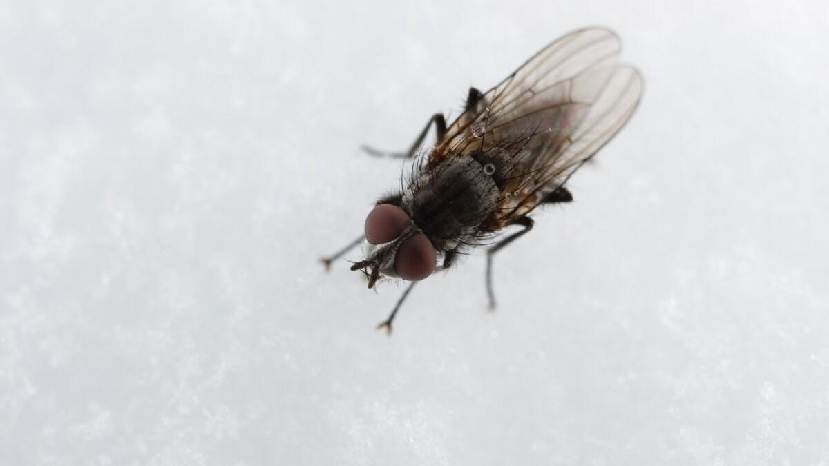 La plaga de la mosca negra y su potente picadura se extiende por España